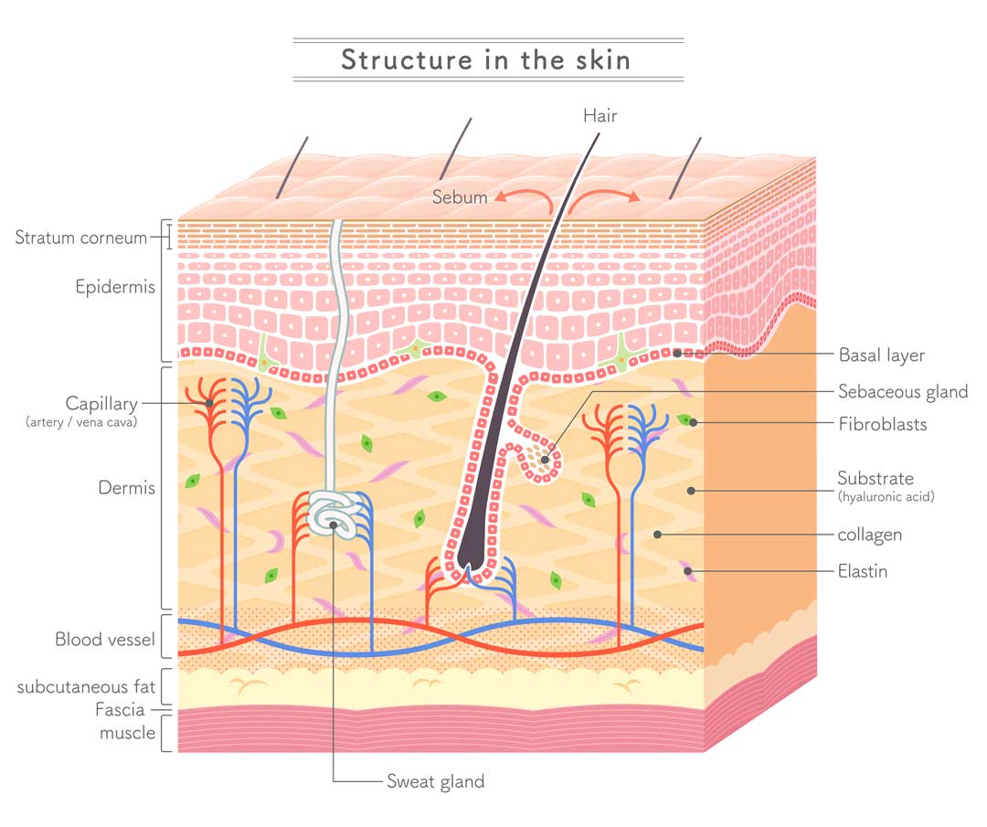 Collagen plays in important role in skin structure