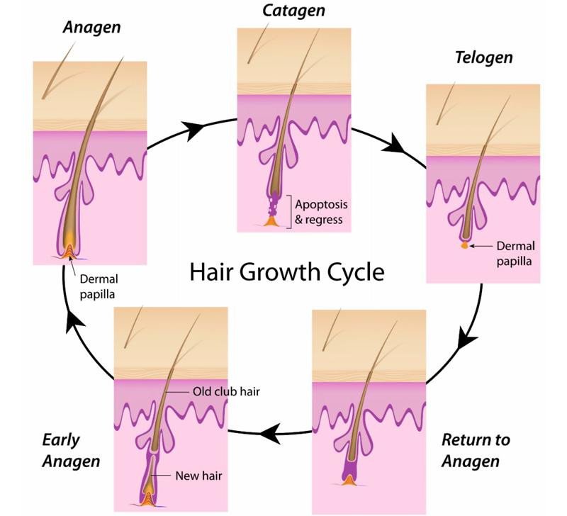 Chu trình phát triển của sợi lông